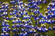 Vivid blue lupine wildflowers fill a California meadow with spring color