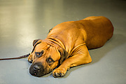 New York, NY - 16 February 2016. A Boerboel named Oblio relaxes before entering the ring at the 140th Westminster Kennel Club Dog show in Madison Square Garden. This is the first year the breed, an African mastiff, has been recognized by the club.