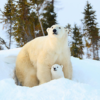 This Polar Bear Mother with her three-month-old cub exiting their den in Wapusk National Park south of Churchill Manitoba Canada near the Hudson Bay.