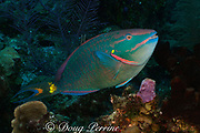 stoplight parrotfish, Sparisoma viride, terminal phase male, <br /> Lighthouse Reef Atoll, Belize, Central America ( Caribbean Sea )