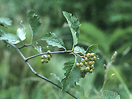 Sorbus anglica (Rosaceae) HEIGHT to 3m. Small shrub. LEAVES Ovate to obovate, lobed and toothed towards distal half; shiny above, whitish and downy below, 8-10 pairs of veins. REPRODUCTIVE PARTS Fruits crimson, to 12mm long, with small lenticels. STATUS AND DISTRIBUTION Restricted to hillsides in Wales, SW England and Ireland, mostly limestone.