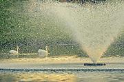 American white pelicans (Pelecanus erythrorhynchos)  in pond in Winnipeg neighbourhood<br />Winnipeg<br />Manitoba<br />Canada