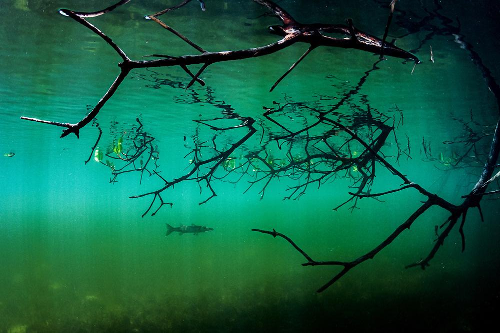 Red mangrove (Rhizophora mangle) habitat with a juvenile great barracuda (Sphyraena barracuda) in The Bahamas.