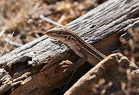 Sonoran Spotted Whiptail, Aspidoscelis sonorae, on the grounds of the Arizona-Sonora Desert Museum, near Tucson, Arizona, This is an all-female species that reproduces by parthenogenesis.