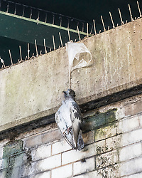 © Licensed to London News Pictures. 19/01/2018. London, UK. A pigeon hangs by it's neck from a plastic bag, choked to death after being caught on ant-bird spikes in Battersea, South London. The plastic bags charge is due to be extended to small shops in England in an attempt to further reduce harm to wildlife and the environment. In 2015 a levy on supermarkets and other large retailers resulted in a 90% decline in the use of plastic bags. Photo credit: Rory Rae/LNP