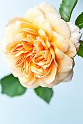 Rosa 'Port Sunlight' - English Shrub Rose bred by David Austin (Introduced 2007)