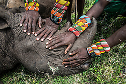 A group of Samburu warriors touch an orphaned rhino for the first time in their lives at Lew wildlife conservancy in Kenya. It's surprising to think that most people on the planet never get the opportunity to see the wildlife that exists literally in their own backyard.  With only about 5,500 black rhinos left in the world, every rhino life is so precious that conservationists such as Lewa have to work hard to ensure the survival of each individual.