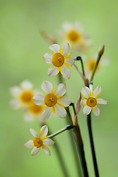 Narcissus 'Edged-in-Gold'