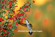 01162-06318 Ruby-throated Hummingbird (Archilochus colubris) female on Lady-in-Red Salvia (Salvia coccinea) Shelby County, IL