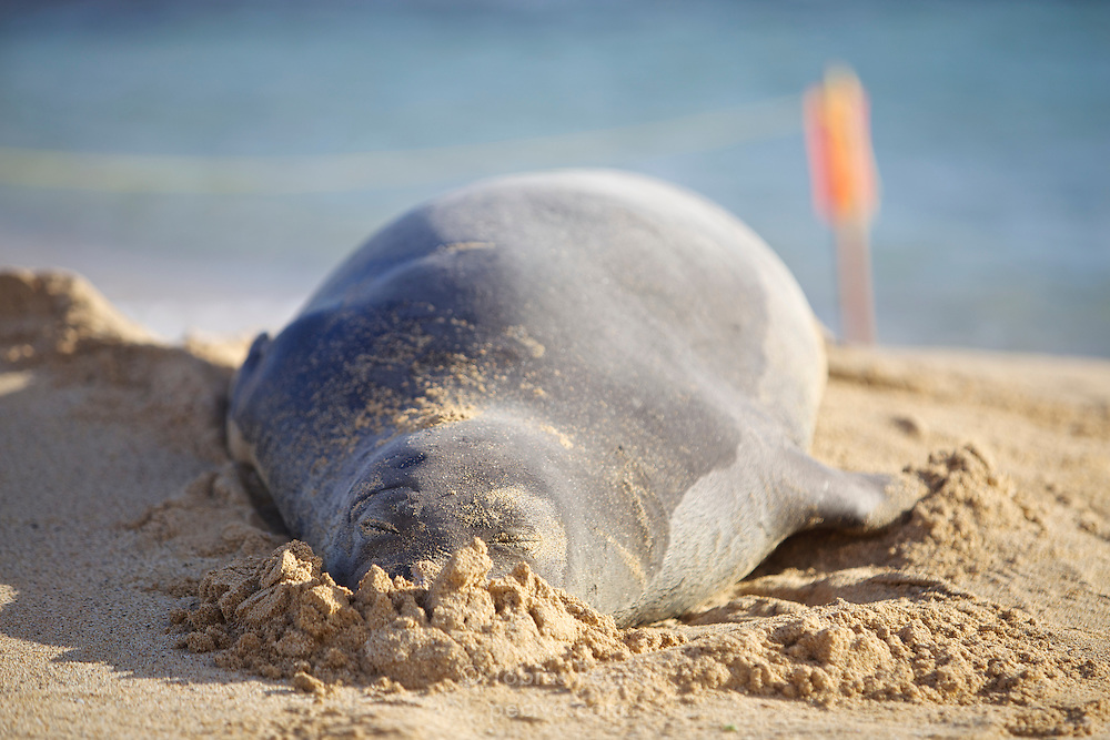 A male Hawaiian monk seal rests on the sand at Poipu Beach, on the island of Kauai, Hawaii. Volunteers rope off the area around sleeping seals to ensure they are not disturbed.