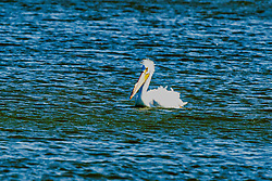 American White Pelican (Pelecanus) are a genus of large water birds that makes up the family Pelecanidae. They are characterised by a long beak and a large throat pouch used for catching prey and draining water from the scooped up contents before swallowing