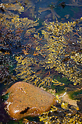 Seaweed: bladderwrack in a rockpool on the shore of Great Saltee, one of the Saltee Islands, off the coast of Co. Wexford, Ireland
