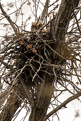 Great Horned Owlet (Bubo virginianus) occupying nest in tree