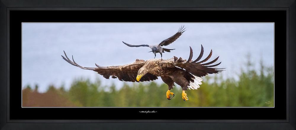 Crow attacking White-tailed Eagle from above   Kråke angriper Havørn ovenfra