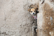 JINGTAI, CHINA - JUNE 20: (CHINA OUT) <br /> <br /> City inside 12 meter high walls<br /> <br /> A dog is seen at the Yongtai Acient City on June 20, 2015 in Jingtai County, Gansu Province of China. The Yongtai Ancient City, also known as the Turtle city, was built in 1608 during the Ming Dynasty (1368-1644). With a perimeter of 1,717 meters, the city wall is 12 meters in height. The city also has a six-meter wide and one-to-2.5-meter deep moat. In 2006, the city was listed as the sixth batch of nation key cultural relic preservation organ. There are more than 100 villagers still living in the city.<br /> ©Exclusivepix Media