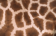 Close-up abstract image of the fur pattern of a reticulated giraffe (Giraffa camelopardalis) at Marwell Zoo Park, Hampshire