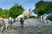Irish cattle climb on builders' rubble near Tagoat, County Rosslare, Ireland
