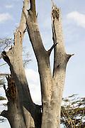 Kenya, Masai Mara, termite holes in a dead tree