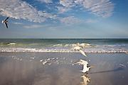 Royal terns on beach Laughing Gull in flight, shoreline at Anna Maria Island, Florida, USA
