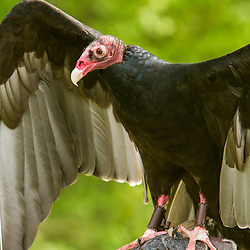 Turkey Vulture, Cathartes aura, at Vermont Institute of Natural Sciences in Quechee, Vermont. (Captive)