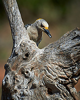 Golden-fronted Woodpecker (Melanerpes aurifrons). Campos Viejos, Texas. Image taken with a Nikon Df camera and 80-400 mm VRII lens