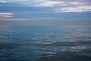 A seagull flies across the clam waters of The English Channel from Folkestone Kent, England, United Kingdom.