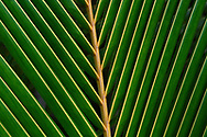 """Coconut palm tree leaves (Cocos nucifera), Raja Ampat, Western Papua, Indonesian controlled New Guinea, on the Science et Images """"Expedition Papua, in the footsteps of Wallace"""", by Iris Foundation"""