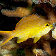 Threadfin Anthias inhabit reefs. Picture taken Raja Ampat, Indonesia.