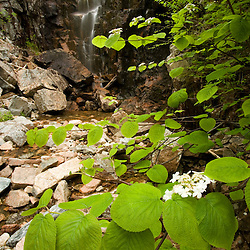 A waterfall near Waterfall Bridge.  Part of the carriage road system in Maine's Acadia National Park.  Hobblebush in bloom.