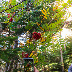 A heart-shaped cluster of mountain ash berries near a trail at Quoddy Head State Park in Lubec, Maine.