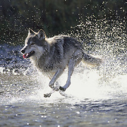 Gray Wolf (Canis lupus) running across a shallow river in Montana. Captive Animal