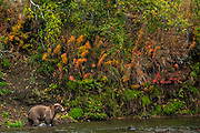 An adult Brown Bear fishing for Sockeye Salmon at Brooks Falls in Katmai National Park and Preserve September 15, 2019 near King Salmon, Alaska. The park spans the worlds largest salmon run with nearly 62 million salmon migrating through the streams which feeds some of the largest bears in the world.