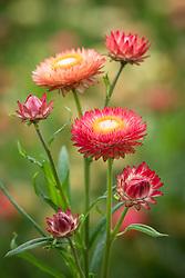 Helichrysum bracteata 'Salmon Rose' syn. Bracteantha bracteata, Xerochrysum bracteatum. Everlasting flower, Strawflower, Paper daisy, Immortelle