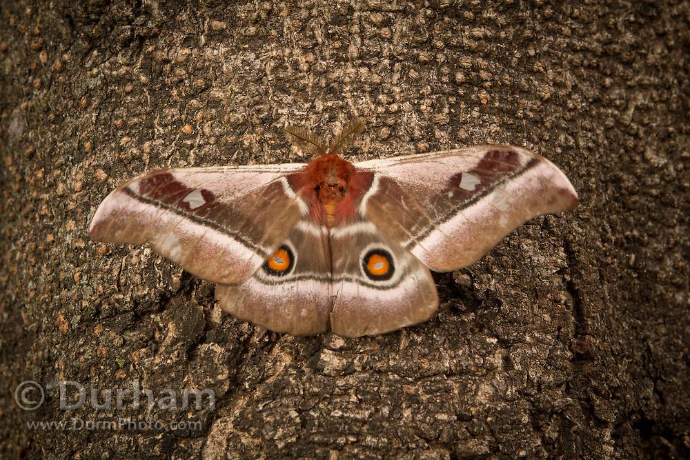 A Cabbage tree emperor moth (Bunaea alcinoe) vibrates its wings in preparation for flight. Photographed outside Bulawayo, Zimbabwe.