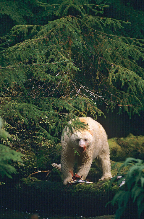 Spirit Bear (Kermode Bear, subspecies of Black Bear), face covered with blood from feasting on a Salmon at the edge of the river.  Princess Royal Island, British Columbia, Canada.