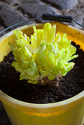 Chicory forced in a bucket