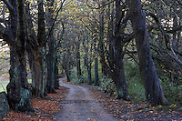 country lane lined with beech trees