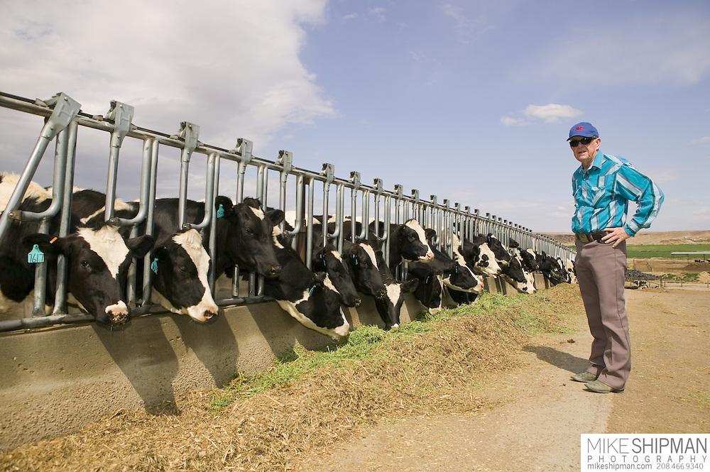 Dairy cows feeding on Roundup Ready ® alfalfa (Medicago sativa) on Jerry Tlucek Dairy Farm. Melba, Idaho. Jerry Tlucek. MR