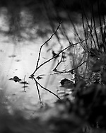 Twigs stick out of a small puddle with soft dawn light reflected. Photograph by Andrew Tobin/Tobinators Ltd