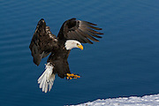 Bald Eagle, Haliaeetus leucocephalus, flying, landing, snow, Kenai Peninsula, Homer Spit, Homer, Alaska. Digital original, #2006_0789 ©Robin Brandt