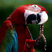 Green-winged Macaw, (Ara chloroptera) In bird park,preening. Range from Central to South America.  Captive Animal.