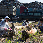 Scientists, students and volunteers engaged in cleaning the bones of an 18-meter long female fin whale (Balaenoptera physalus) that was found floating in Tokyo harbor in early 2012 and buried for about 16 months to facilitate decomposition. Even with the passage of so much time, there was still significant soft tissue and a power odor. The lower jaw bones are pictured here.