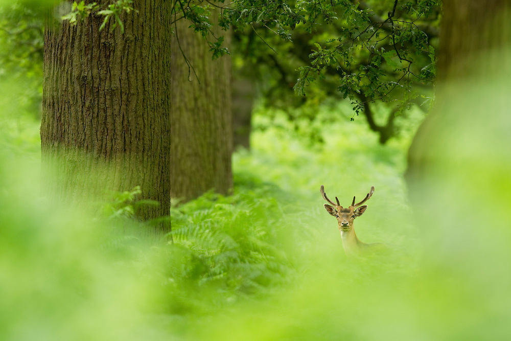 Fallow deer, Dama dama, in woodland clearing, Cheshire, UK