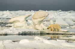 Polar bear (Ursus maritimus) on drifting sea ice in Svalbard, Norway