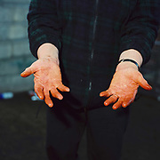 A hill farmers hands after preparing her sheep for showing by applying a mixture of ingredients including peat onto the fleece, Nidderdale, North Yorkshire, UK