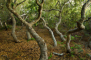 Dwarf pygmy oak trees in the Rose Bowker Grove, El Moro Elfin Forest Natural Area, Los Osos, California