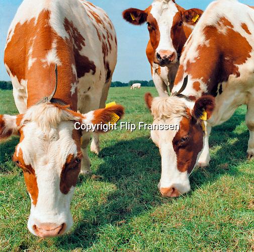Nederland, Ubbergen, 1-5-2019Roodbont koeien grazen in de wei. Oormerken. Veeteelt.Foto: Flip Franssen