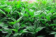Marijuana leaves at a grow facility near Aspen, Colorado.