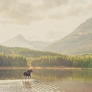moose crossing a placid pond in glacier national park
