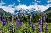 Blue lupine flowers bloom beneath Mount Robson (3954 meters or 12,972 feet), whose summit is the highest point in the Canadian Rockies. Mount Robson Provincial Park (in British Columbia, Canada) is part of the Canadian Rocky Mountain Parks World Heritage Site listed by UNESCO in 1984. This image was stitched from 2 photos having near and far focus for great depth of field.